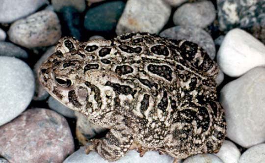 Photograph of the Fowler's Toad. Copyright Gary Allen.
