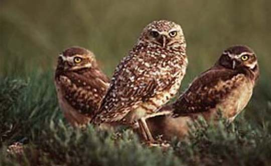 Photograph of the Burrowing Owl. Copyright Dr. Gordon Court.