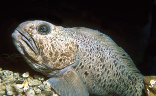Photograph of the Spotted Wolffish. Copyright Erling Svensen.