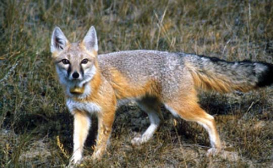 Photograph of the Swift Fox. Copyright Lu Carbyn.