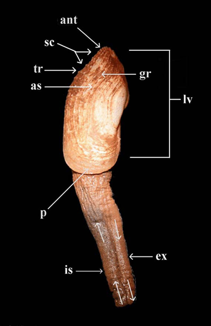 Figure1. Photo showing the lateral view (left side) of an adult specimen of Barnea truncata collected alive at Noel Bay, Hants County, Nova Scotia. The following structures can be seen: left valve, inhalant siphon, exhalant siphon, shell sculpture, growth rings, anterior slope, tooth ridges, beaked anterior end and truncate posterior end.