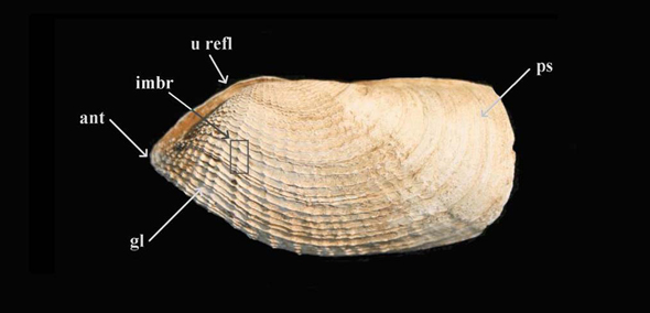 Figure 3. Photo of a Barnea truncata shell taken from a beach in the Minas Basin, Nova Scotia. The photo shows the exterior of the left valve. The following structures can be seen: concentric growth line, anterior radial sculpture, truncate posterior end and smooth posterior slope, beaked anterior end, imbrications where concentric and radial sculpture intersect (important in burrowing), umbonal reflection (closed posteriorly, open anteriorly).