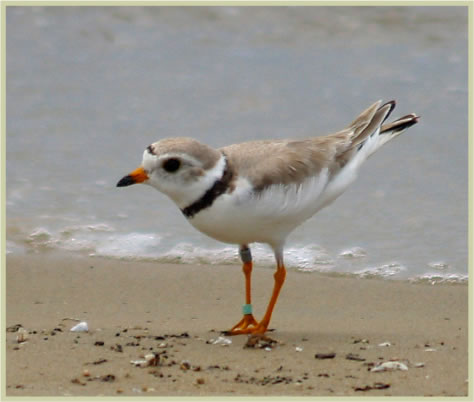 Piping Plover in Ontario