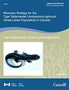 Species at Risk Act Recovery Strategy Series Recovery Strategy for the Tiger Salamander (Ambystoma tigrinum) (Great Lakes Population) in Canada Tiger Salamander (Great Lakes population) April 2009