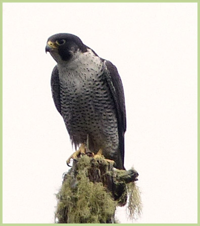Photo of Peregrine Falcon pealei subspecies