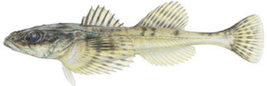 Columbia Sculpin