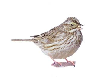 Photo of a Savannah Sparrow Passerculus sandwichensis.