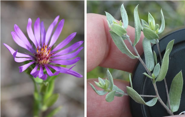 Photo: Two Western Silvery Aster flower