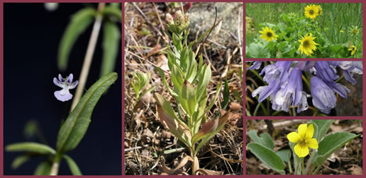 Deltoid Balsamroot, Yellow Montane Violet, White-top Aster; Howell's Triteleia and Small-flowered Tonella in flower