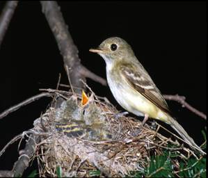 An image of an Acadian Flycatcher perched on its nest watching over its young on the branch of a tree.