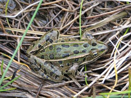 Photo of a Northern Leopard Frog adult (green phase).