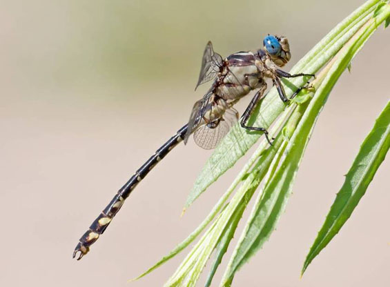 Photo of the Olive Clubtail Stylurus olivaceus.