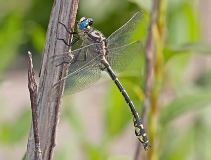 Photo of a male Olive Clubtail (dorsolateral view).