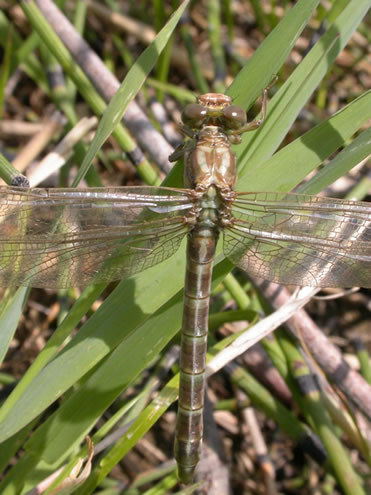 Photo of a recently emerged female Olive Clubtail (dorsal view).