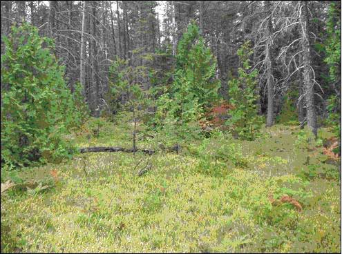Figure 1. Dwarf Lake Iris carpets the floor of this fire-successional Jack Pine - White Cedar woodland on the Bruce Peninsula