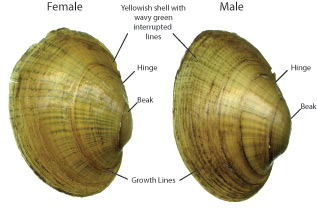 Anatomy of the Wavy-rayed Lampmussel shells (exterior)