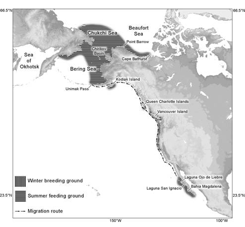 Figure 1. Map of the North Pacific showing the global distribution and migration route of the eastern Pacific population of Grey Whales.