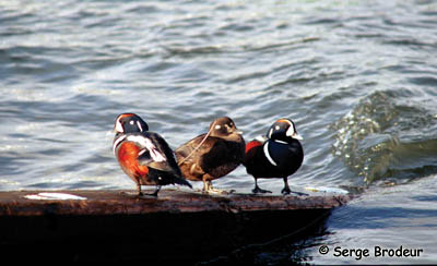 Harlequin Duck Photo 1