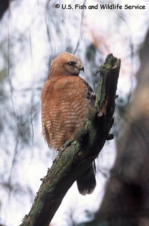Red-shouldered Hawk Photo 1