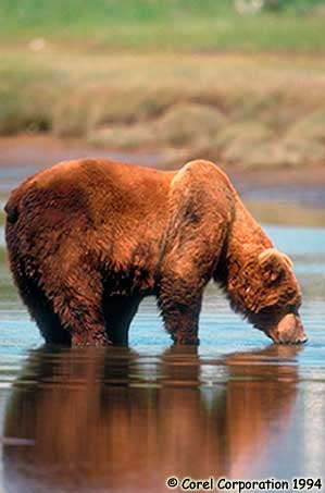 Grizzly Bear Photo 1