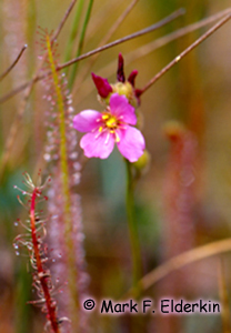 Thread-leaved Sundew Photo 1