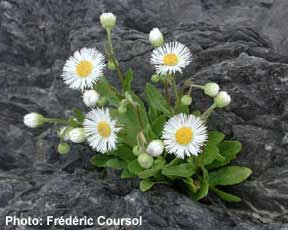 Provancher's Fleabane Photo 1