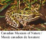 Grenouille léopard Photo 1