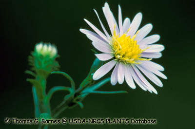 Aster fausse-prenanthe Photo 1