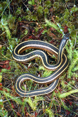 Eastern Ribbonsnake Photo 1