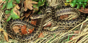 Pacific Gophersnake Photo 1