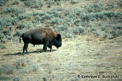 Plains Bison Photo 1
